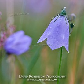 Prints & Stock Image - Harebell or Scottish Bluebell, Campanula rotundifolia.  Ochils, Clackmannanshire, Scotland
