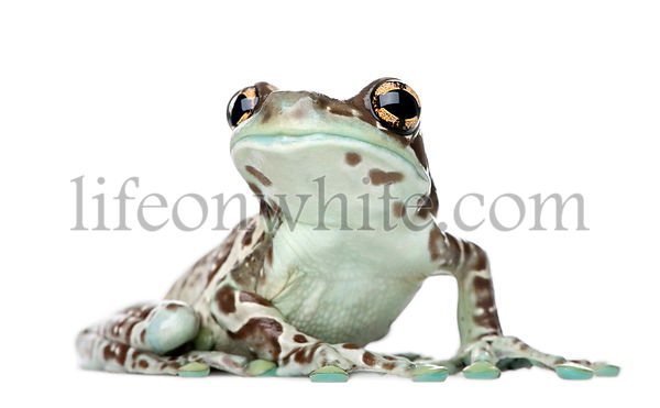 Amazon Milk Frog, Trachycephalus resinifictrix, studio shot