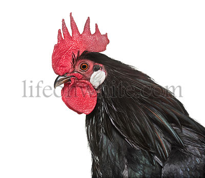 Bassette Liegeoise, a breed of large bantam chicken from Belgium, close up against white background