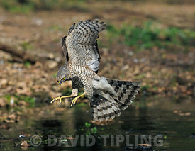 Eurasian Sparrowhawk Accipiter nisus immature male  North Norfolk