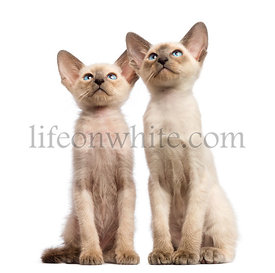 Two Oriental Shorthair kittens, 9 weeks old, sitting and looking up against white background