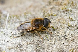Closeup of a hoverfly wanting to be a bee , the tapered drone fly , Eristalis pertinax sunning on sandy soil