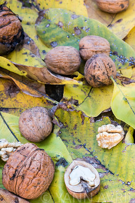 Juglans regia - Walnuts and autumn leaves-France