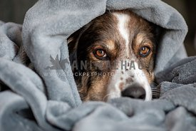 A shepherd dog resting in blanket