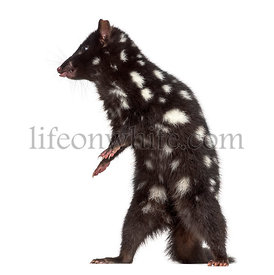 Quoll sticking the tongue out, isolated on white