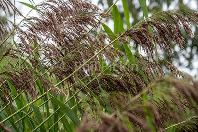 Common Reed [Phragmites australis] growing on a canal bank.