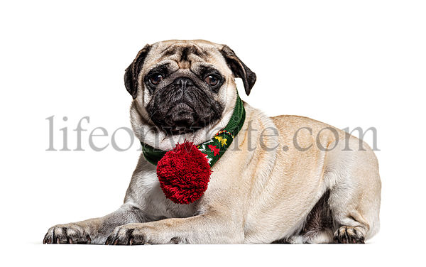 Pug lying down,isolated on white