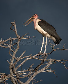 Marabou stork perched on branch, Tanzania, Africa