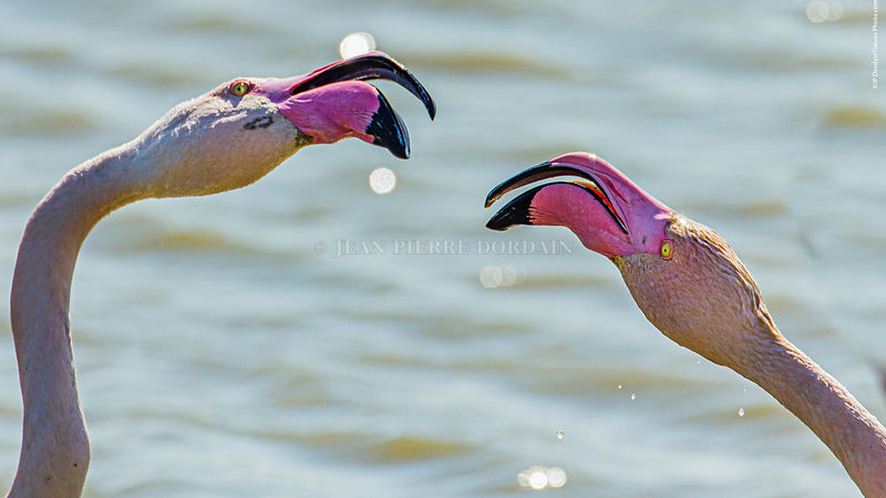 Flamants roses, parade nuptiale