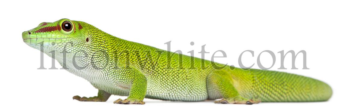 Madagascar day gecko, Phelsuma madagascariensis grandis, 1 year old, in front of white background
