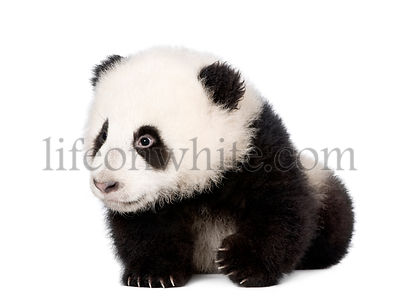Giant Panda, Ailuropoda melanoleuca, 4 months old, in front of a white background, studio shot