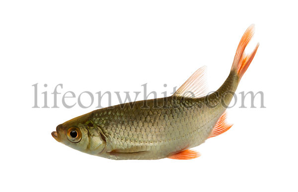 Common roach swimming, Rutilus rutilus, isolated on white