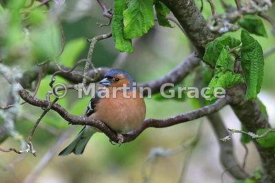 Common Chaffinch male (Fringilla coelebs) in Contorted Hazel (Corylus avellana Contorta), Lake District National Park, Cumbri...