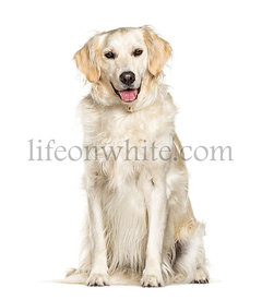 Sitting Golden Retriever dog panting, isolated on white