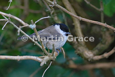 Marsh Tit (Poecile palustris), Lyth Valley, Cumbria, England