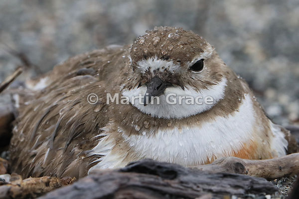 Female Banded Dotterel (Charadrius bicinctus bicinctus) on the nest, Okarito, West Coast, South Island, New Zealand