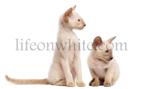Two Oriental Shorthair kittens, 9 weeks old, sitting, lying and looking away against white background