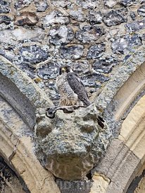Peregrine Falcon, Falco peregrinus, adult perchjed on  Cromer Church, North Norfolk, summer