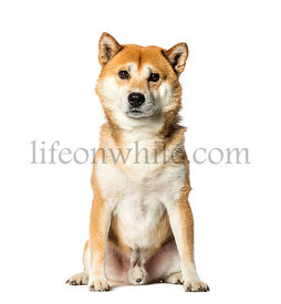 Shiba Inu sitting in front of white background