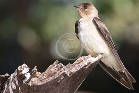 [Southern Rough-winged Swallow - Stelgidopteryx ruficollis]-[BR-Pantanal Norte]