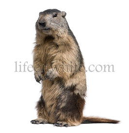 Portrait of Alpine Marmot, Marmota marmota, 4 years old