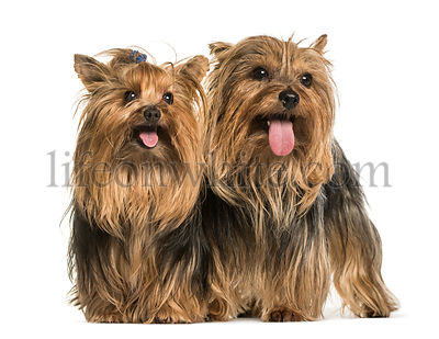 Yorkshire terriers standing against white background