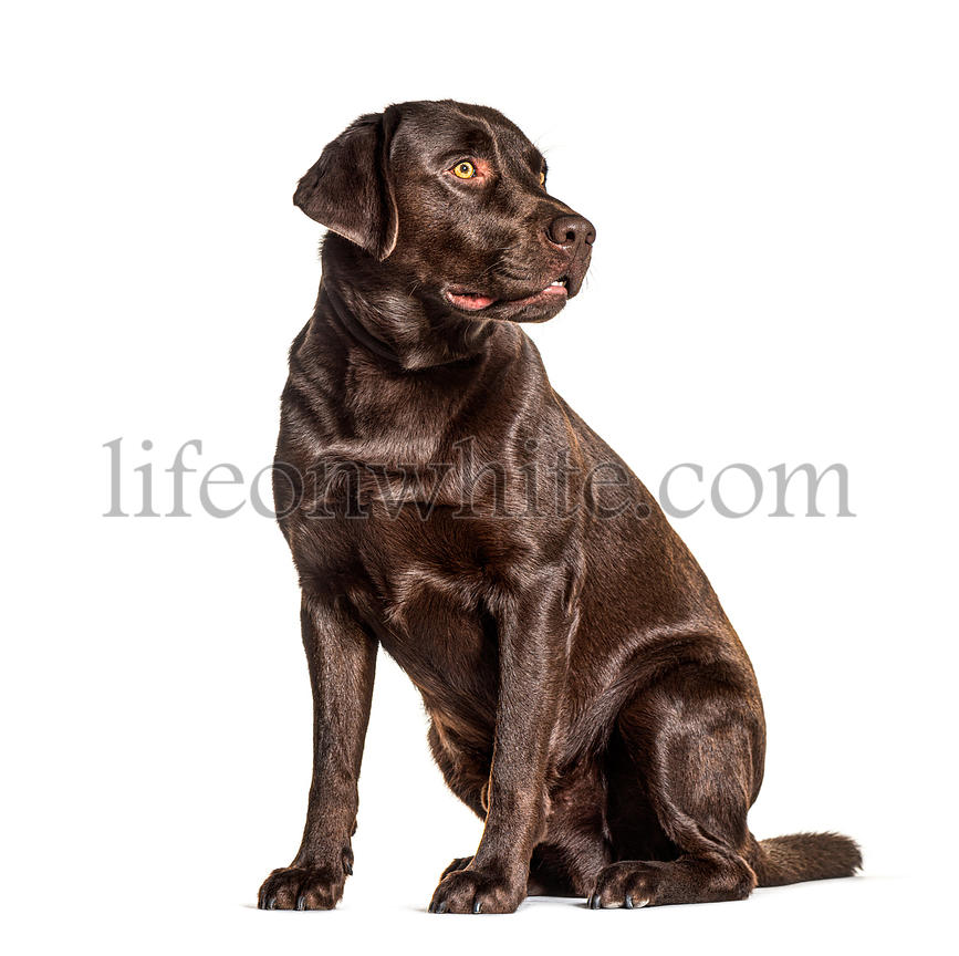 Chocolat labradorlooking away, isolated on white