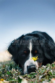 A Bernese Mountain dog laying in the grass with a single yellow flower