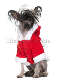 Chinese Crested Dog in Santa coat, 1 year old, sitting