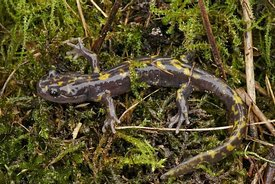 Closeup of the near threatened Persian brook   mountain salamander, Paradactylodon persicus on moss
