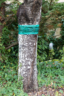 Piège à insectes sur un cerisier/Insect trap on a 'cherry tree'-Summer-France