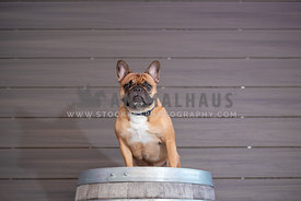 french bulldog sitting on wine barrell