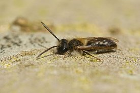 Closeup of a male, mellow miner , Andrena mitis