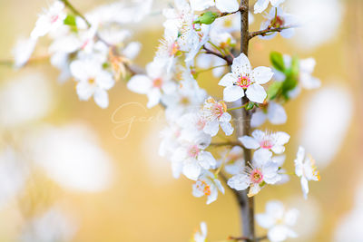 Spring flowers with white blossom