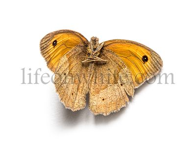 Dead orange butterfly In state of decomposition