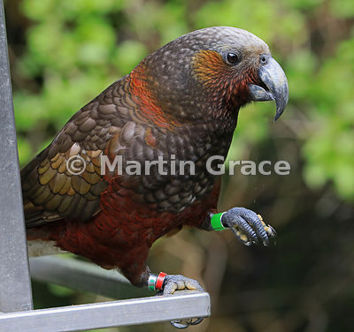 Colour-ringed (-banded) North Island Kaka (Nestor meridionalis ssp septentrionalis), Zealandia, Wellington, New Zealand