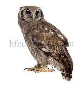 Verreaux\'s eagle-owl - Bubo lacteus (3 years old) in front of a white background