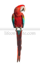 Green-winged Macaw, Ara chloropterus, 1 year old, perched in front of white background
