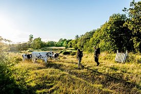 Hikers and cows on Mors, Denmark 7