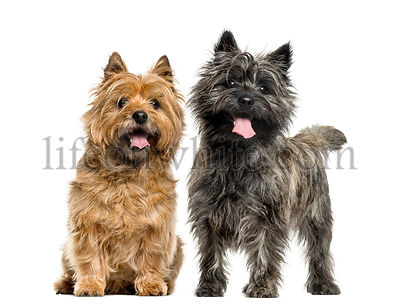 Cairn terriers in front of white background