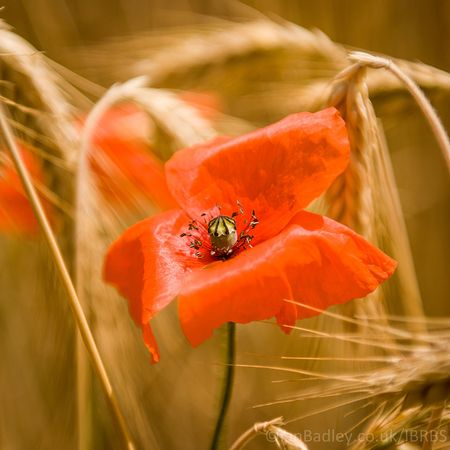 A lone poppy amongst wheat