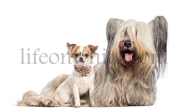Chihuahua puppy 6 months old and Skye Terrier 5 years old sitting against white background