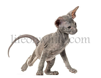 Peterbald kitten, yoga cat, stretching, isolated on white
