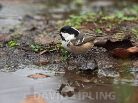 Coal Tit Periparus ater drinking at pool North Norfolk