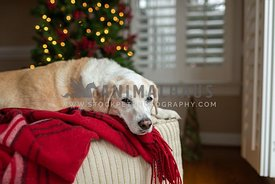 Dog resting on a chair in front of a Christmas Tree