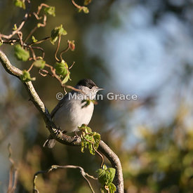 Male Eurasian Blackcap (Sylvia atricapilla) perches in a garden Forsythia bush, Lake District National Park, Cumbria, England