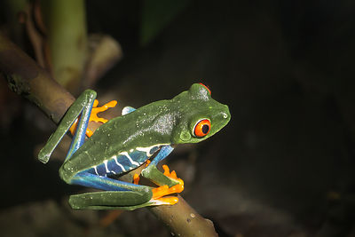 Red-eyed Tree Frog 4