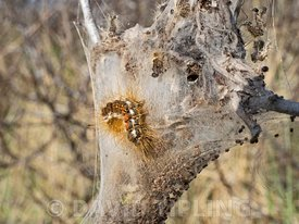 Brown-tail Moth  Euproctis chrysorrhoea, caterpillars in communal web on Sea Buckthorn, North Norfolk, May