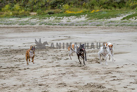 Four Greyhounds and One Boxer Racing on Sandy Beach