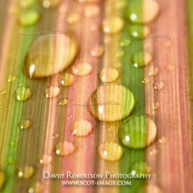 Prints & Stock Image - Water drops on leaf of New Zealand Flax, phormium tenax.